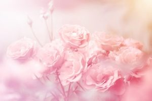 薔薇イメージ画像